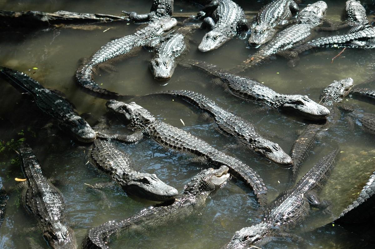 Croc Farm by Ryan Bradford